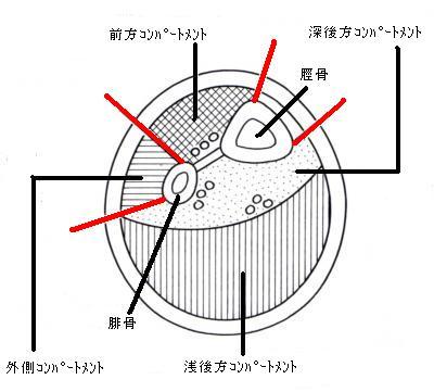 左下腿・立位で上から見た図