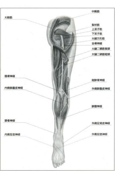坐骨神経の経路